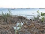 Κρινάκια που ακόμη φυτρώνουν στις αμμουδιές της Ερείκουσσας.