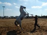 Άλογο από την φυλή της Ανδραβίδας.
