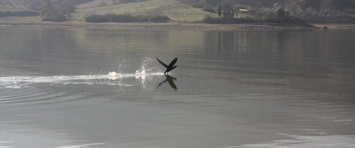 Κορμοράνος σε απογείωση - Cormorant trying to get out of water.